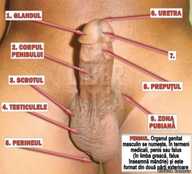 penisul cum arată